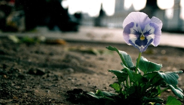 Pansies against homophobia