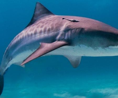 Chasse aux requins au large de la Réunion