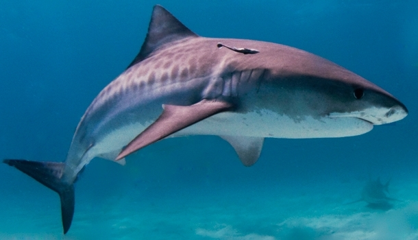 Shark hunt off the coast of Reunion Island